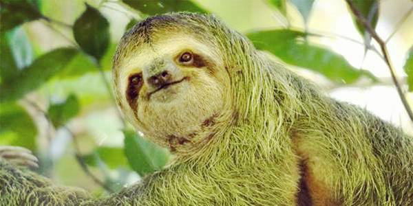 澳洲特有动物,疯狂动物城树懒,长得丑容易灭绝