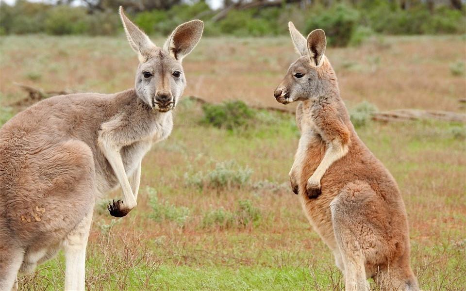 能把澳洲留学生萌出血的,非这5类动物莫属了!