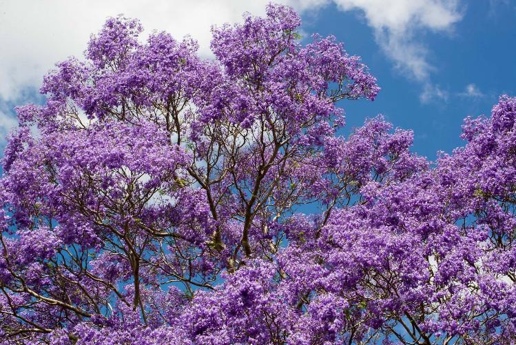 昆士兰大学如此梦幻的蓝花楹,却让每一个考生避之不及!